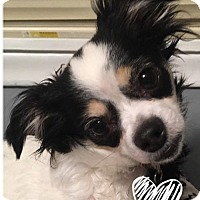 Chihuahua/Papillon Mix Dog for adoption in Livonia, Michigan - Sophie