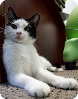 Domestic Shorthair Cat for adoption in Bethesda, Maryland - Panda