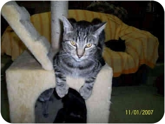 Domestic Shorthair Cat for adoption in Pendleton, Oregon - Cassanova