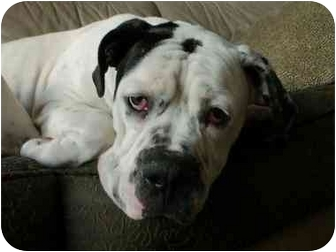 American Bulldog Dog for adoption in Moreno Valley, California - Gabby
