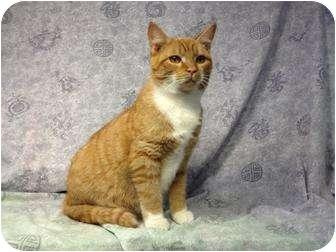 Domestic Shorthair Cat for adoption in Orlando, Florida - Ernie