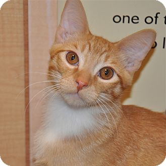 Domestic Shorthair Kitten for adoption in Foothill Ranch, California - Casey
