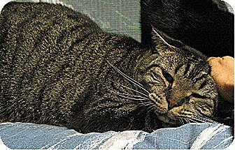 Domestic Mediumhair Cat for adoption in Huntington, New York - Floyd