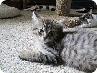 Domestic Mediumhair Kitten for adoption in Richland, Michigan - Hope