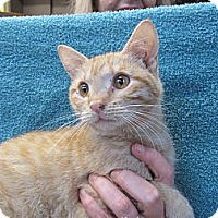 Domestic Shorthair Kitten for adoption in New York, New York - Pumpkin