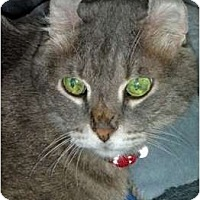 American Curl Cat for adoption in Brooklyn, New York - Abigail