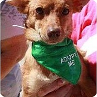 Adopt A Pet :: Copper - Arlington, TX