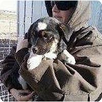 Adopt A Pet :: aussie pup 3 - Alliance, NE