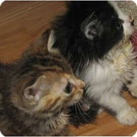 Adopt A Pet :: Long Haired Kittens - Richfield, OH