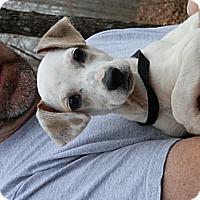 Adopt A Pet :: Peggy Lou - hartford, CT