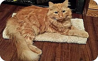 Domestic Mediumhair Cat for adoption in Tampa, Florida - Sebastian