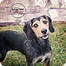 Adopt A Pet :: Roxi