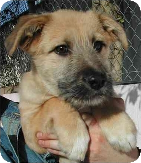 Airedale Terrier/German Shepherd Dog Mix Puppy for adoption in El