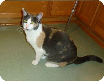 Calico Cat for adoption in Dale City, Virginia - Chloe