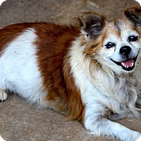 Chihuahua Dog for adoption in Kempner, Texas - Harley