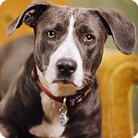 Adopt A Pet :: Acorn - Portland, OR