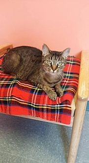 Domestic Shorthair Cat for adoption in Lima, Ohio - Max