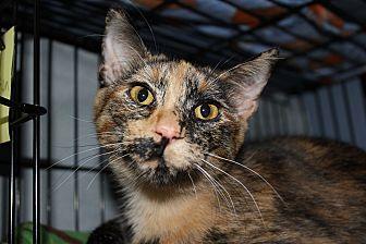Calico Kitten for adoption in New Richmond,, Wisconsin - Truffles
