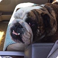 Adopt A Pet :: Capone - Katy, TX