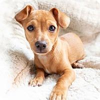 Adopt A Pet :: Amber - Thousand Oaks, CA