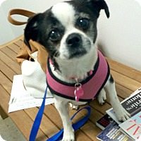 Adopt A Pet :: Sophie is a Bugg! NEEDS FOSTER - Redondo Beach, CA