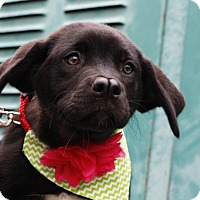 Adopt A Pet :: Molly-in CT - Manchester, CT