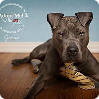 Adopt A Pet :: Giroux - Mount Laurel, NJ