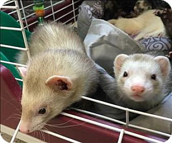 Ferret for adoption in Madison, New Jersey - Shaggy