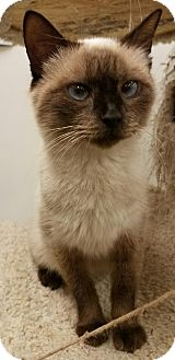 Siamese Cat for adoption in Colonial Heights, Virginia - Pyewacket