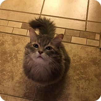 "Maine Coon Cat for adoption in Phoenix, Arizona - Keisha - 7 ""K"" Kitty"