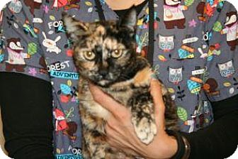Domestic Shorthair Cat for adoption in Wildomar, California - Betty