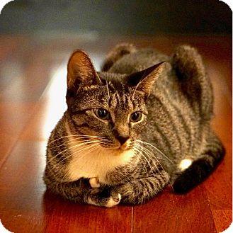 Domestic Shorthair Cat for adoption in New York, New York - Cherry Blossom