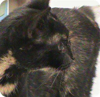 Manx Cat for adoption in Maynardville, Tennessee - Savannah