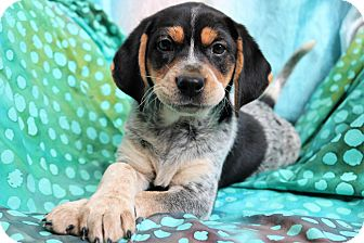 Beagle Mix Puppy for adoption in Hagerstown, Maryland - Tennsley