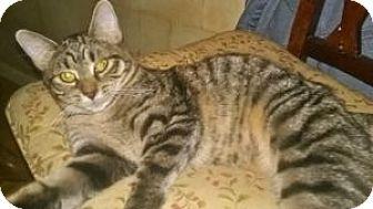 Domestic Shorthair Kitten for adoption in Colorado Springs, Colorado - Ellen