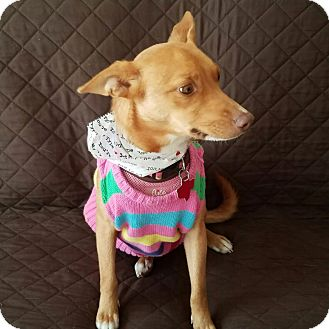Basenji/Chihuahua Mix Dog for adoption in Holliston, Massachusetts - Dazzler
