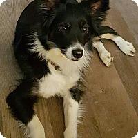 Adopt A Pet :: Balla - Bridgeton, MO