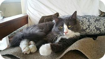 Maine Coon Cat for adoption in Grand Ledge, Michigan - Abu