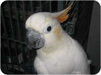 Cockatoo for adoption in Melbourne Beach, Florida - Sammy