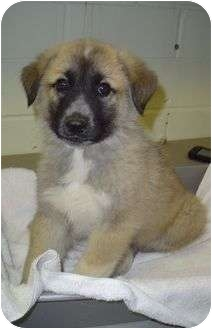 Leonberger/Great Pyrenees Mix Puppy for adoption in Litchfield, Connecticut - Dunn