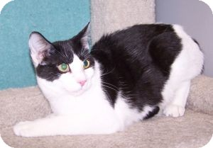 Domestic Shorthair Cat for adoption in Colorado Springs, Colorado - K-Emery6-Morgan
