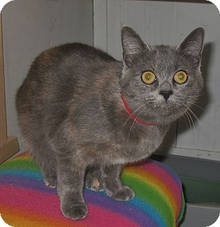 Domestic Shorthair Kitten for adoption in Shelton, Washington - Constance