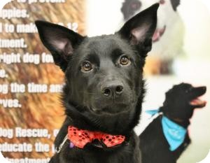 Labrador Retriever Mix Puppy for adoption in Saskatoon, Saskatchewan - Krissy