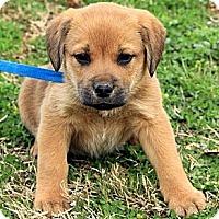 Adopt A Pet :: Carrieanne - Staunton, VA
