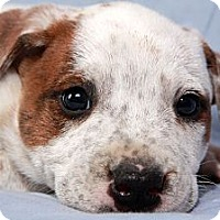Adopt A Pet :: Harrison Heeler - St. Louis, MO