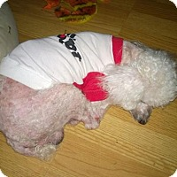 Toy Poodle Dog for adoption in Cary, North Carolina - Buttons