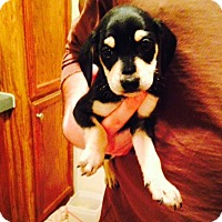 Adopt A Pet :: Duncan - Charlemont, MA