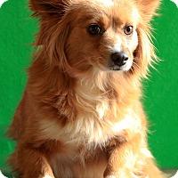 Adopt A Pet :: Foxy - Waldorf, MD