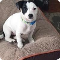 Adopt A Pet :: Oreo - Courtesy Post - Encino, CA
