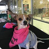 Chihuahua Mix Dog for adoption in Denver, Colorado - Bobby